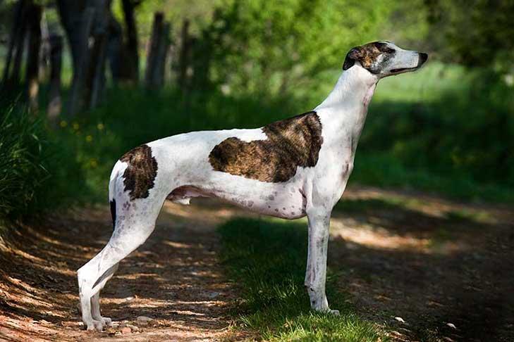 cho-greyhound