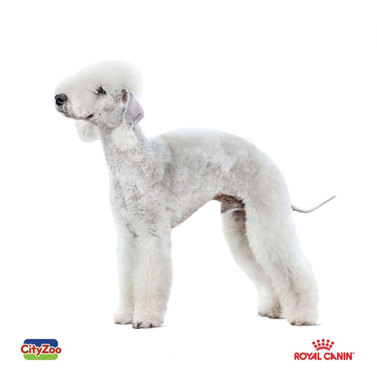 cho-bedlington-terrier-dep