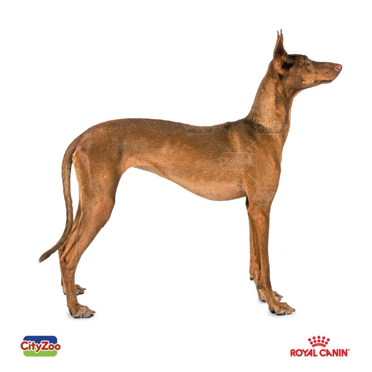 cho-pharaoh-hound-dep