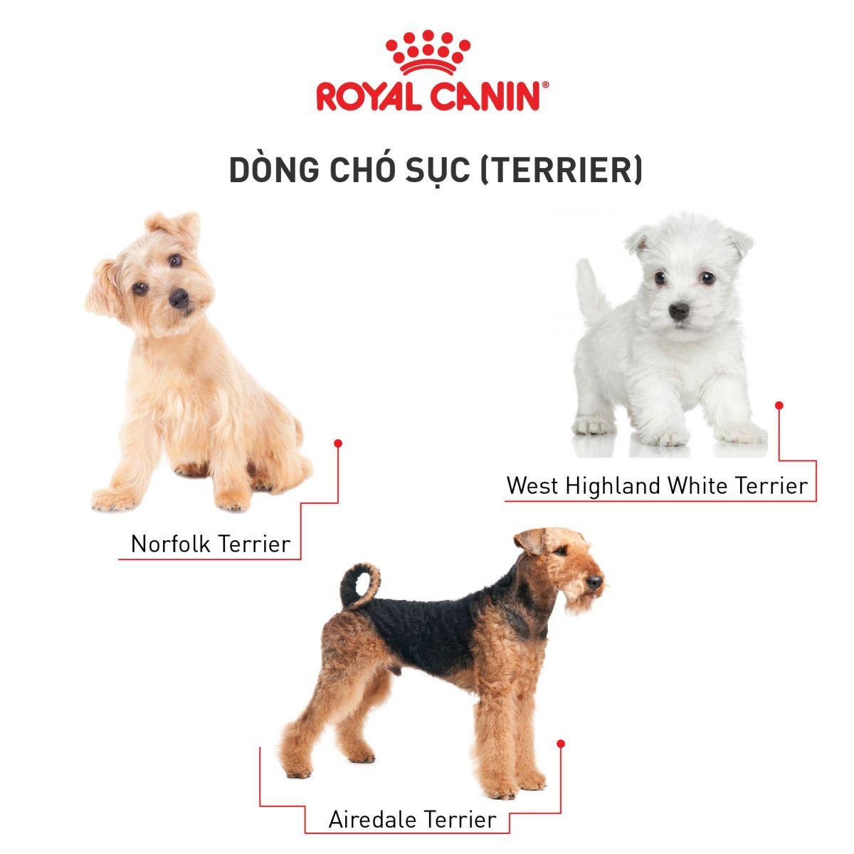 cho-Terrier