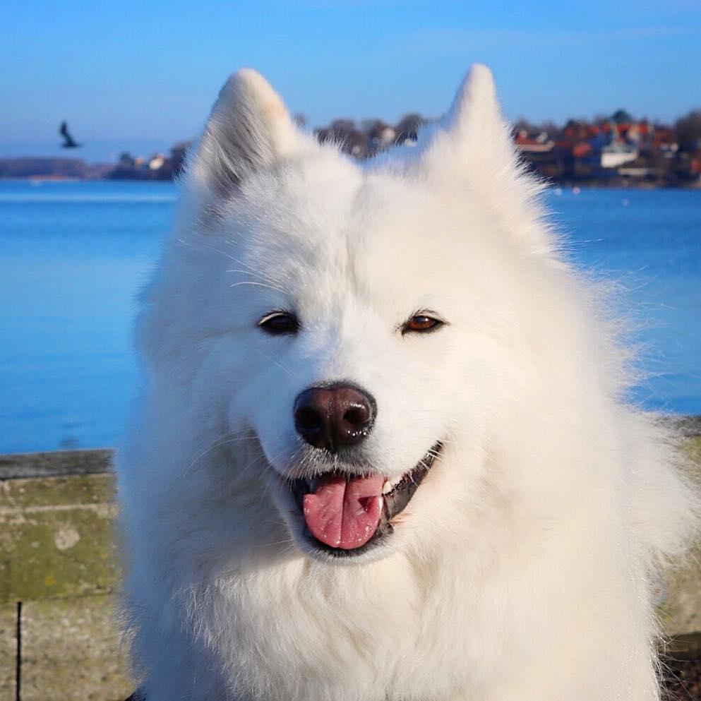 Hình ảnh chó Samoyed