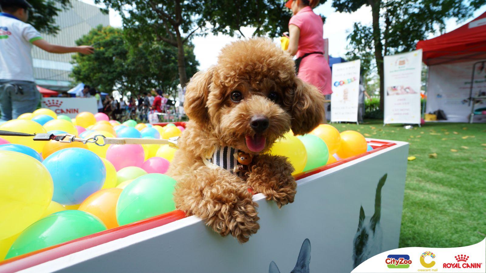 cho-toy-poodle-trong-nha-banh