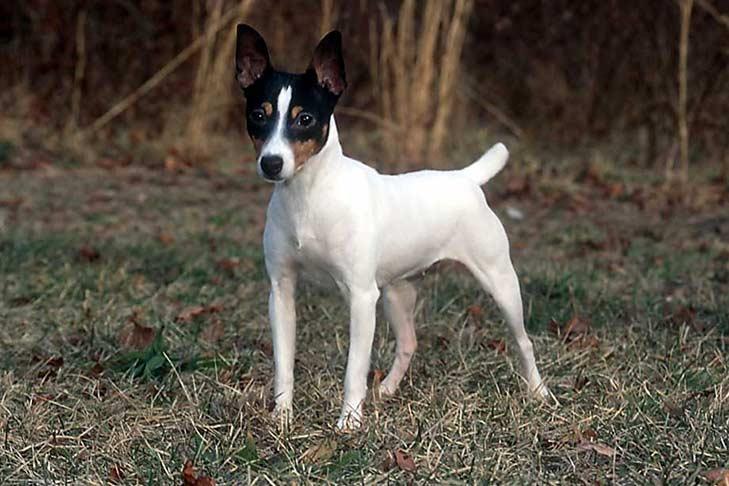 toy-fox-terrier